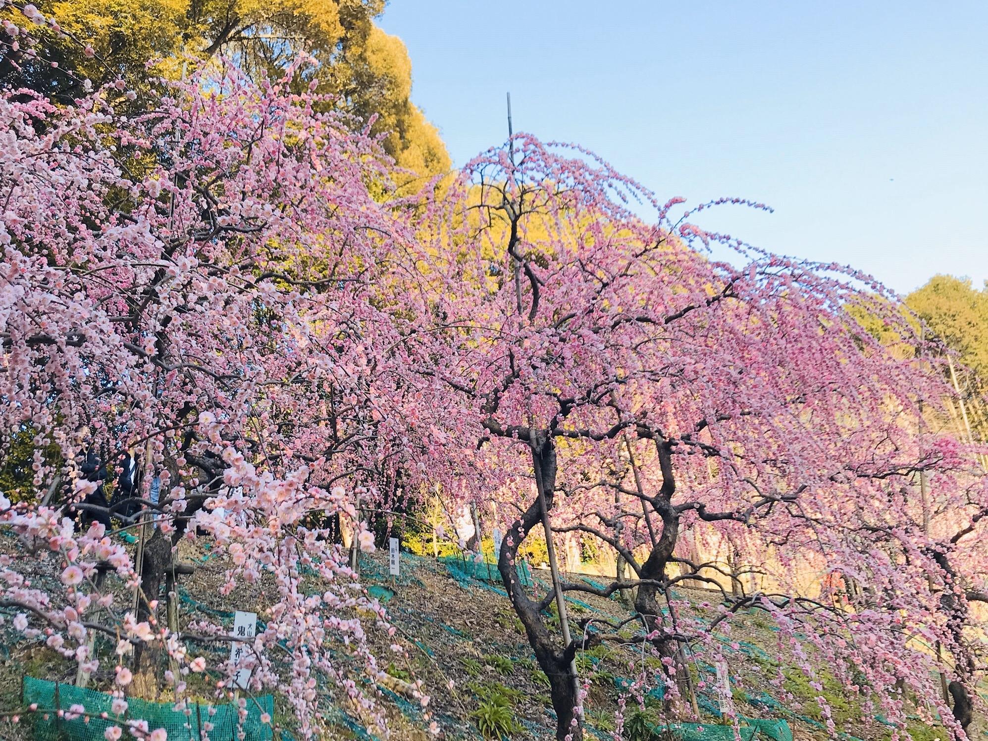 大縣神社の梅まつり2